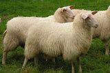 250 g gewaschene Vlieswolle - Friesisches Milchschaf (Elfenbeinfarbig)_