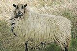 500 g A-Klasse - Badger Face Welsh Mountain (Naturfarben)_