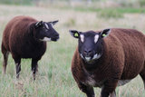 1 kg Lammwolle - Dassenkopf Texelschaf (Dunkel Braungrau)_