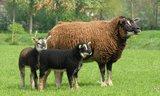 500 g gew. Kammzugwolle - Dassenkopf (Moorit)_
