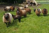 500 g gew. Kammzugwolle - Blaue Texelschaf (Dunkelgrau)_