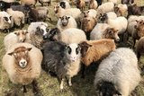 250 g gewaschene Vlieswolle - Shetland (Musket)_