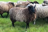 500 g gew. Kammzugwolle - Veenkolonisten (Grau)_