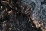 1 kg Lammwolle - Blaue Texelschaf (Dunkelgrau)_