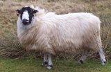 500 g A-Klasse - Rough Fell (Elfenbeinfarbig)_