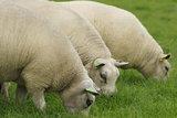 100 g gewaschene Vlieswolle - Texelschaf (Elfenbeinfarbig)_