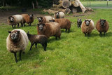 500 g gew. Kammzugwolle - Blaue Texelschaf (Silbergrau)_