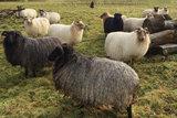 500 g gew. Kammzugwolle - Drenter Heideschaf (Meliert)_