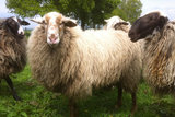 500 g gew. Kammzugwolle - Schoonebeeker (Naturfarben)_