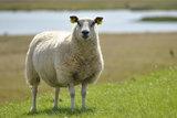 500 g gewaschene Vlieswolle - Basiswolle / Füllwolle (Wollweiß)_
