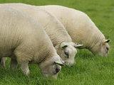 500 g gew. Kammzugwolle - Texelschaf (Elfenbeinfarbig)_