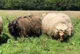 500 g Lammwolle - Zackelschaf (Elfenbeinfarbig)_