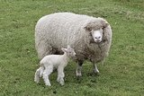 500 g Lammwolle - Poll Dorset (Elfenbeinfarbig)_