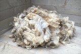 1 kg Lammwolle - Texelschaf (Elfenbeinfarbig)_