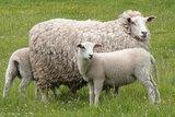 4 kg Lammwolle - Swifter (Elfenbeinfarbig)_