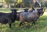 250 g gewaschene Vlieswolle - Gotland Pelzschaf (Grau)_