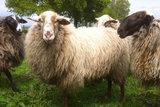 500 g gewaschene Vlieswolle - Schoonebeeker (Naturfarben)_