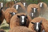 1 kg Lammwolle - Zwartbles (Braunschwarz)_